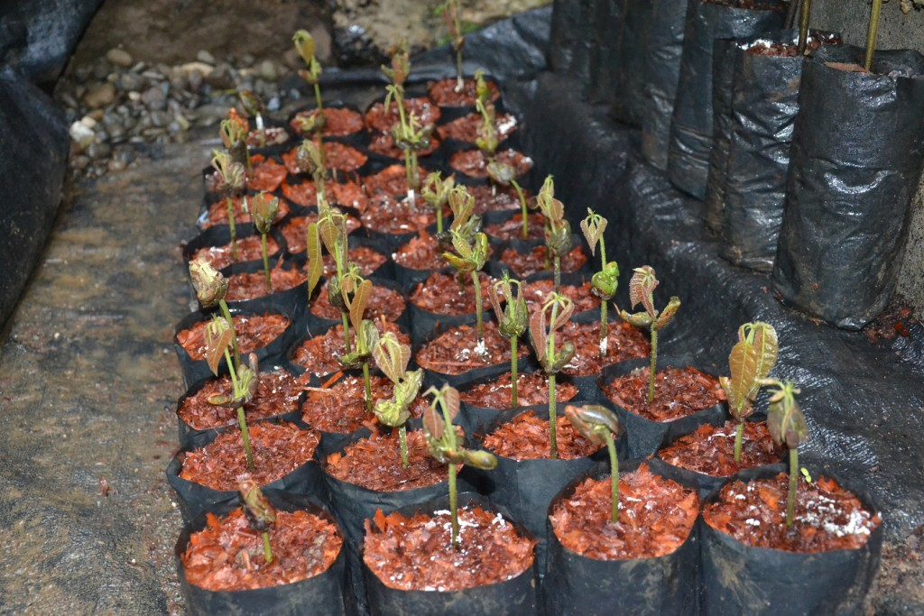 """8/5/2015 """"Fungus amongst us."""" 14 days after sowing... Thanks to #FullOn by Grow Switch, they didn't seem threatened by those fungus. They don't F***** care! 100% #Cides_FREE seedlings... Enjoy!"""