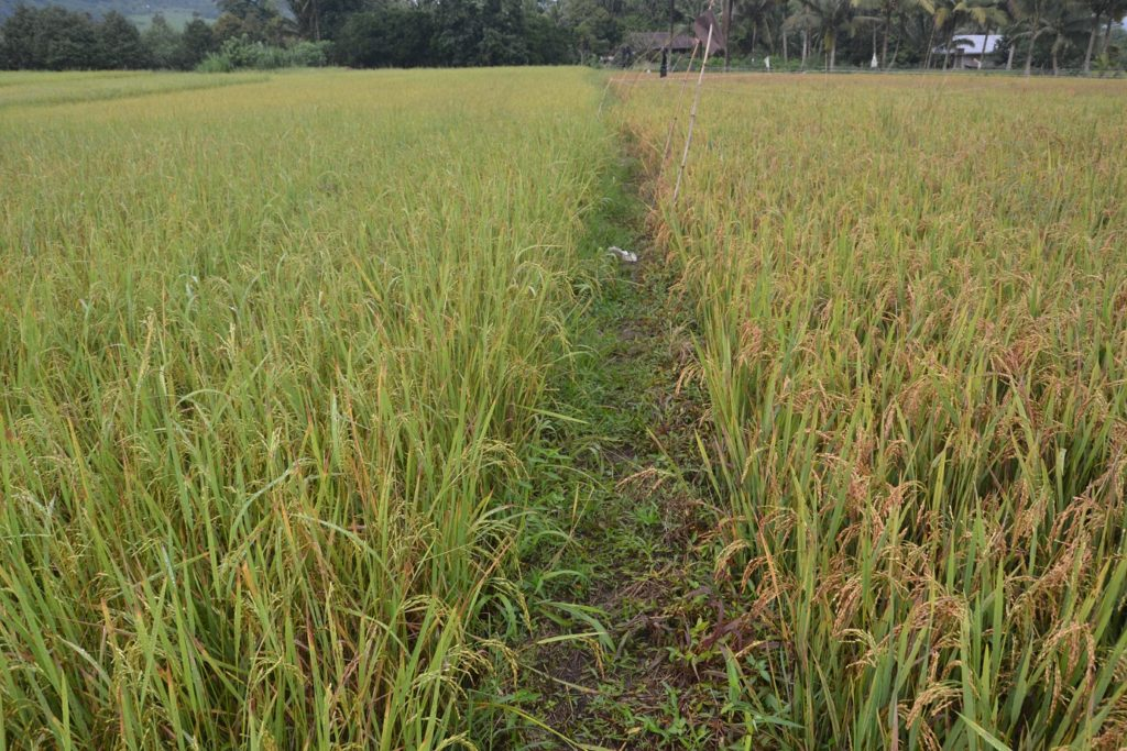 Rice field on the left hand side is 2 weeks to harvest without ‪#‎FullOn‬, while rice field on the right hand side is days to harvest with #FullOn by Grow Switch ... Mike Dial Pauli Roterdam ‪#‎TeamFullOn‬ ‪#‎Team‬ DavaoPonics